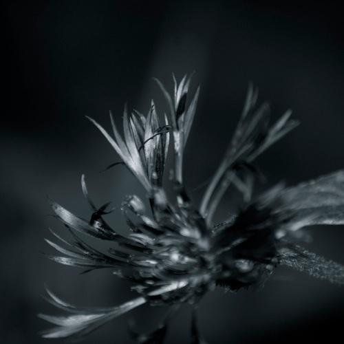 blaue Blume schwarzweiß