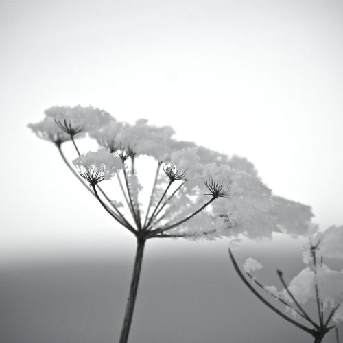 Winterblume s/w